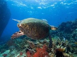 Hawksbill Turtle on Tioman