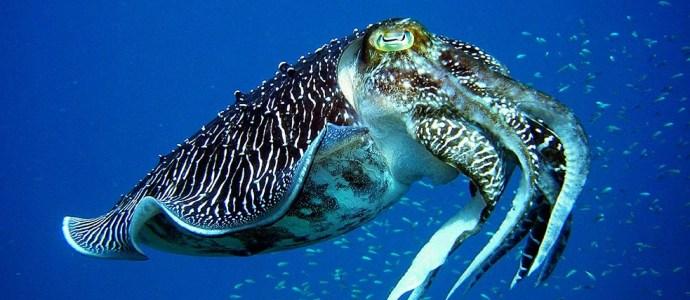 Tioman Pharaoh Reef Cuttlefish