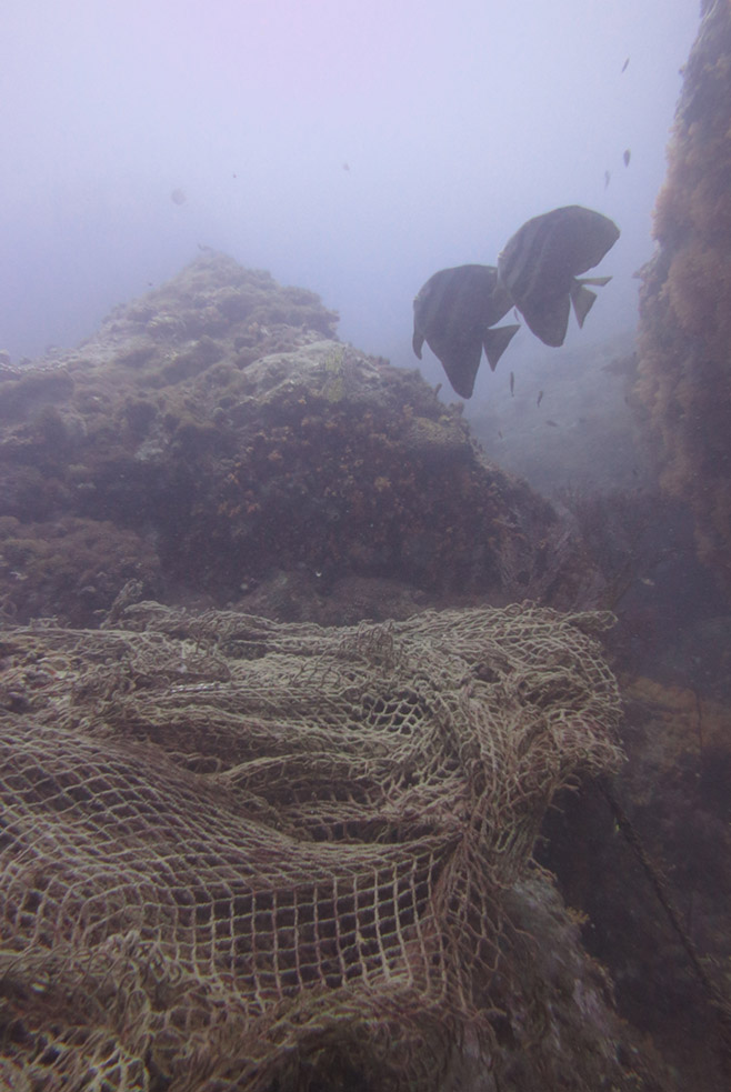 Batfish check out what we're up to as we remove net