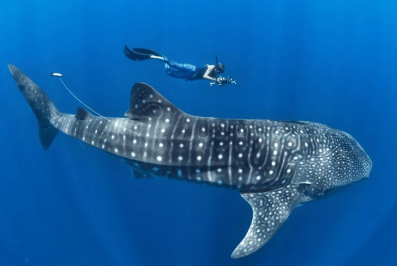 whale-shark-with-satellite-tag-biologist-in-waterlust-leggings-marine-megafauna-foundation-photo-by-simon-pierce
