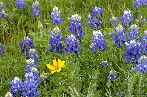 Bluebonnets and Gold