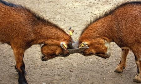 goats-173940