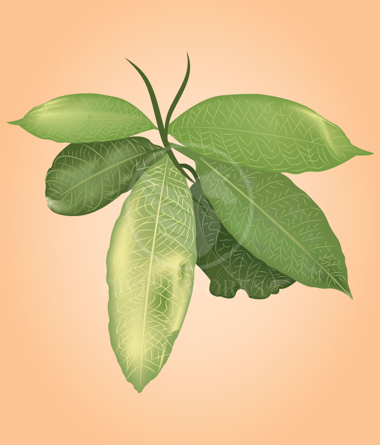 Free Mango Leafs Vector Illustration Download by Divine Works