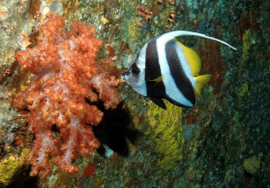 Banner Fish and Spiky Coral at West of Eden, a Similan Islands Diving Site