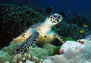 Hawksbill Turtle – Marine Life in Thailand