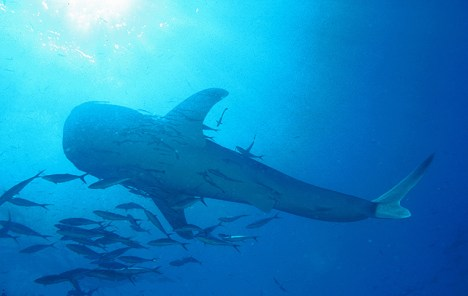Whale Shark and Sun