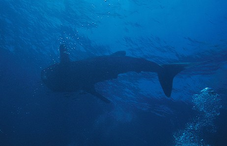 Whale Shark near Surface