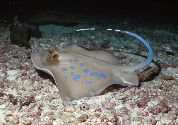 Blue Spotted Stingray - Diving Thailand with Colona ...