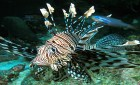 Lion Fish at Racha Island