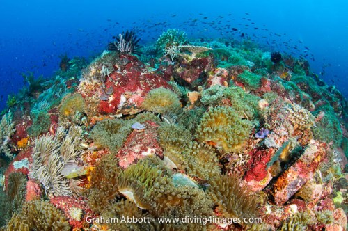 One of Indonesia's most unique reefs in Indonesia with miles of endless anemones