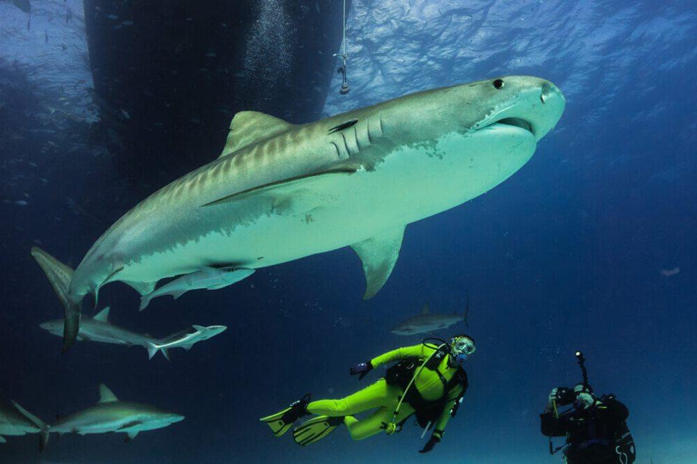 Unsere Erlebnisse mit Tigerhaien / Bahamas - Dolphin Dream