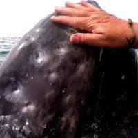 Grauwale, ganz nah (Magdalena Bay/Mexico)