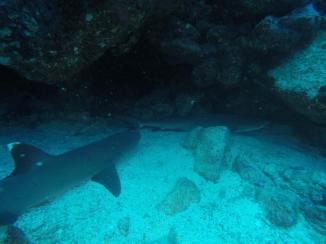 Weißspitzenhaie in Punta Carrion (Isla Santa Cruz)