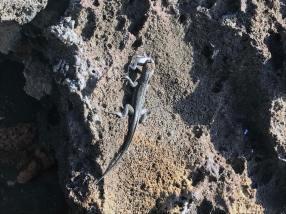 029-bartholome-island-galapagos-iguana-food