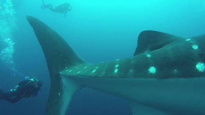 046-galapagos-darwin-whaleshark-fin
