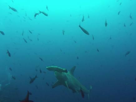 050-galapagos-tauchurlaub-darwin-hammerhai