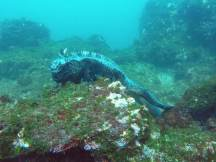 Iguana unter Wasser