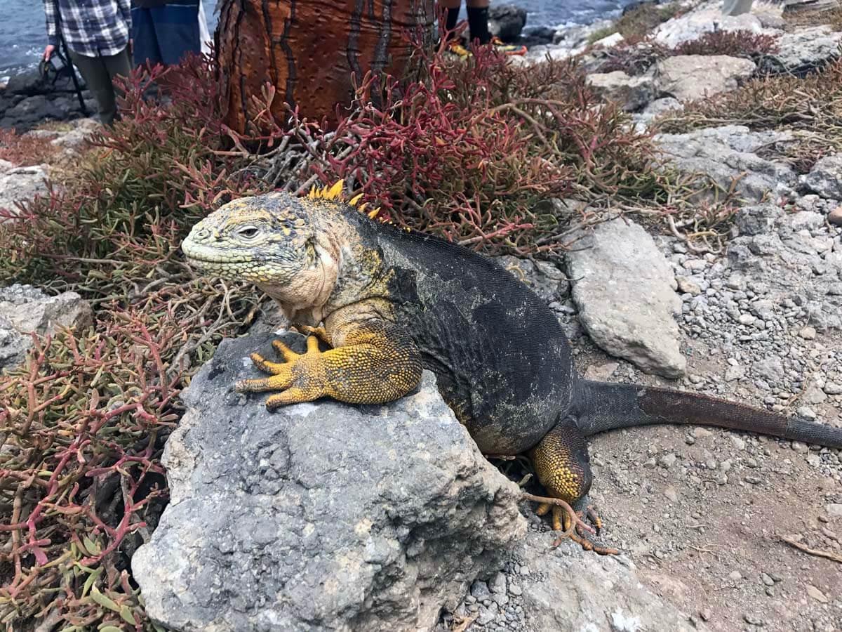 Iguana Paradise (Plazas Island, Galapagos)