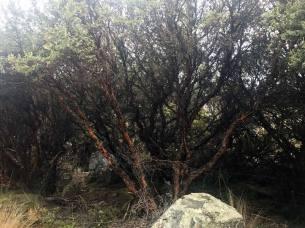 Die Gattung Polylepis gehört zur Familie der Rosengewächse und wird über 1000 Jahre alt!