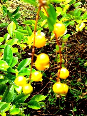 Cayenne Pfeffer water garden
