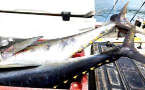 Gelb flossen - Thunfisch
