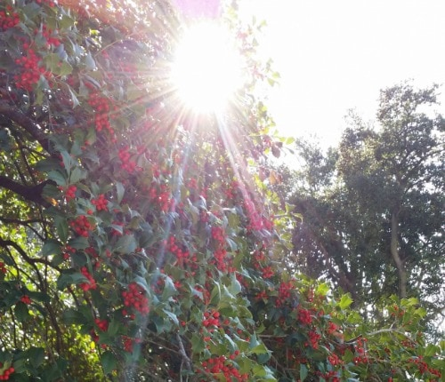 Martin Luther King and Holly Berries