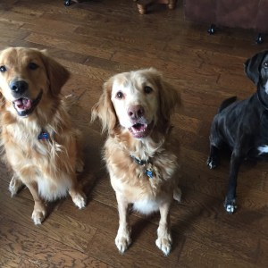 Beowulf (Texas Lacey), Landry (Nova Scotia Duck Toller) & Trooper (Golden Retriever)
