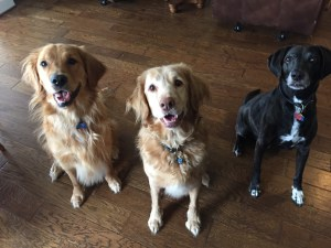 Beowulf (Texas Lacey), Landry (Nova Scotia Duck Toller) & Trooper (Golden Retriever) Dixie's Pet Sitting Services