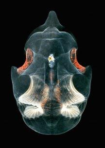 Atlantgrodd (Oikopleura labradoriensis). © Bathybiologica.no, Foto: Per R. Flood