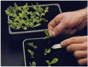 seed sowing and pricking out