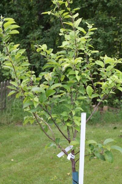 Äppelfamiljeträd
