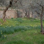 spring in the olive grove, Fiesole