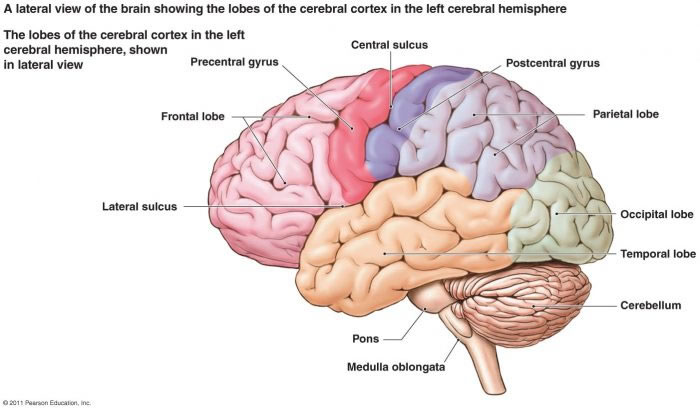 left side brain functions diagram genie intellicode garage door opener wiring cerebellar disorders normal axial mri