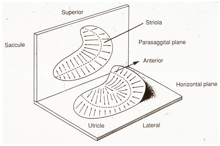 Neurophysiology of vestibular compensation