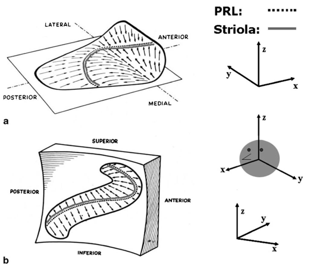 Anatomy Of The Otoliths