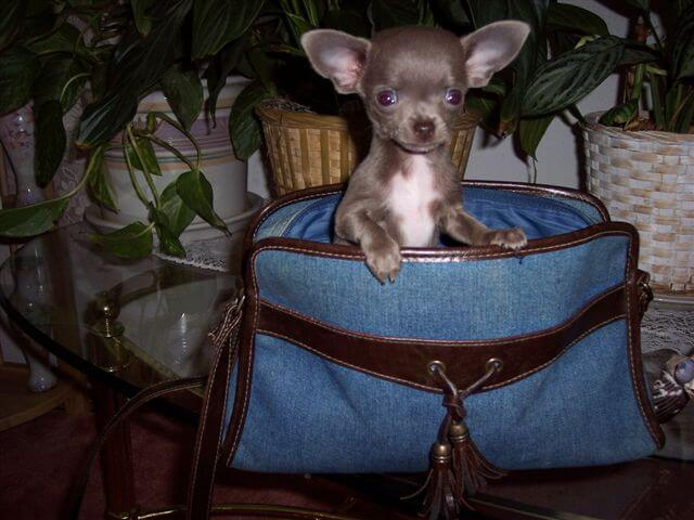 Teacup Chihuahua Puppies For Sale Blue Chihuahua Puppies
