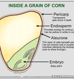 corn kernel cutaway diagram jpg [ 1000 x 833 Pixel ]