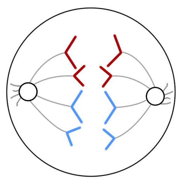 anaphase of mitosis diagram