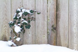 Ivy in Winter