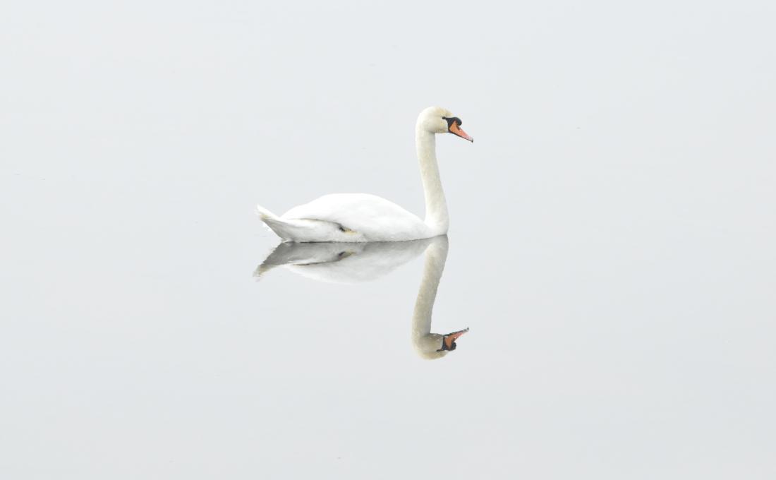 Cisne sobre un lago con efecto espejo.