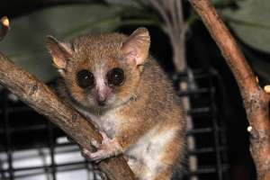 The extinct Gujarat primates appear to be most similar to the gray mouse lemur, above.