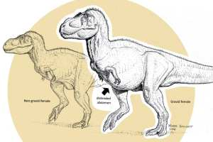 Fossil analysis shows that pregnant theropod dinosaurs, like the T. rex on the right, apparently developed medullary bone as do modern-day female birds.