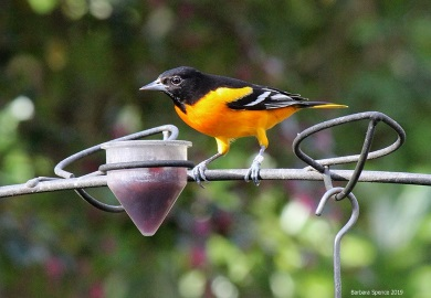 A Baltimore oriole (adult male) visits a feeder on James Island in Charleston County. (Photo by Barbara Spence)