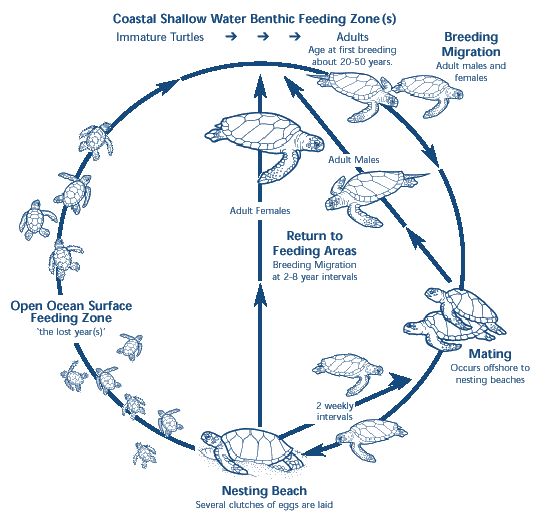 leatherback sea turtle food web diagram 1985 corvette radio wiring tracking the lost years where do baby turtles grow 2 generalized life cycle of image source
