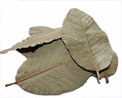 use-of-leaves-guave-leaves