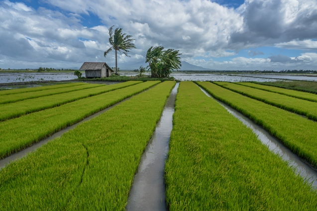 Image from Philippine Rice Research Institute.