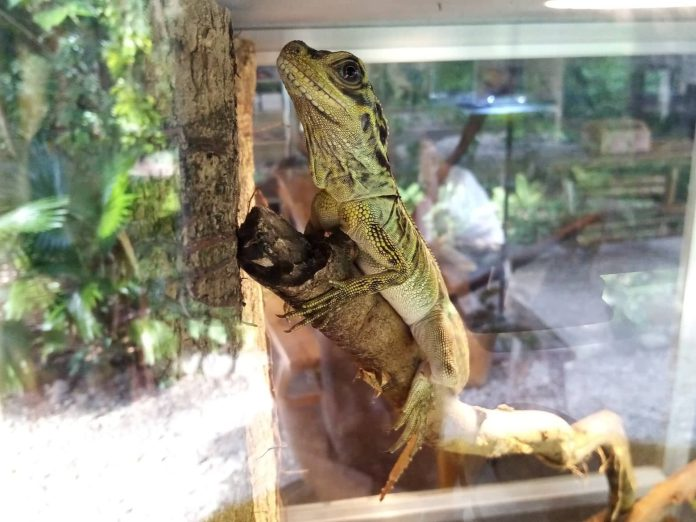 "One of the species featured in the Negros Forest Park is Philippine Sailfin Lizard also known as ""Ibid"". 