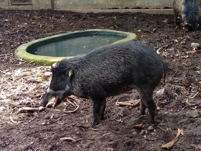 The International Union for the Conservation of Nature and Natural Resources  Warty has classified the Visayan Warty Pig, or baboy Talunon, as critically endangered. | Photo by Darlwin Sales