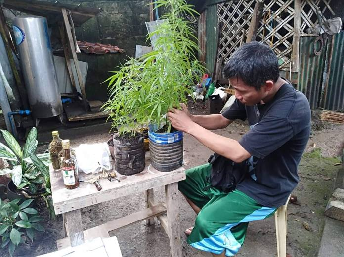 One of the suspected marijuana plants seized by police from Lopez. | Photo courtesy of BCPO through Police Lt. Col. Ariel Pico.
