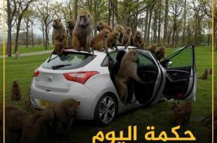 التوعية السياسية - سطرت القرود على السيارة